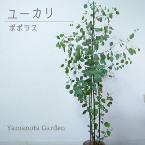ユーカリ ポポラス 120cm 苗木 植木 シンボルツリー 通販 大型 国産 常緑 高木 かわいい おしゃれ 人気 切り花 ドライフラワー 庭木 植木