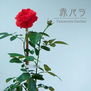 バラ 赤 苗 バラ苗 赤バラ ローズガーデン 薔薇 ばら ガーデニング かわいい イングリッシュガーデン ヨーロピアンガーデン 父の日 ギフト