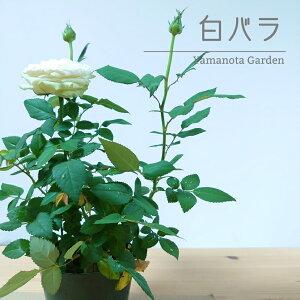 ミニバラ バラ【白 30cm】 苗 バラ苗 白バラ ローズガーデン 薔薇 ばら ガーデニング かわいい イングリッシュガーデン ヨーロピアンガーデン 父の日 ギフト パール コ