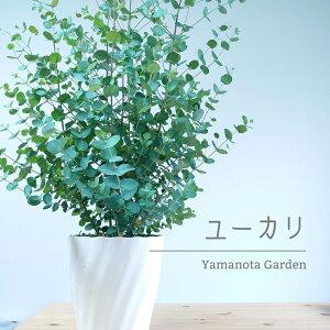 ユーカリ グニー 8号 苗木 植木 シンボルツリー 通販 大型 常緑 高木 銀葉 かわいい おしゃれ 人気 切り花 ドライフラワー 庭木 植木