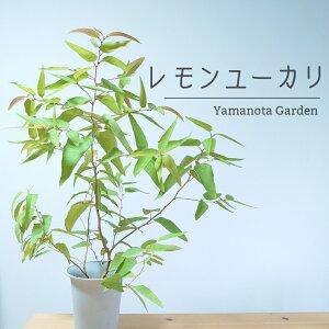 レモンユーカリ 80cm 苗 オージープランツ 観葉植物 かわいい おしゃれ オージーガーデン 植木  空気浄化 殺菌作用 中型 香り 人気 庭木