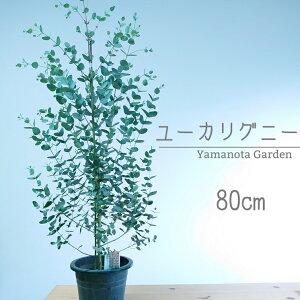 ユーカリ グニー 80cm 苗木 オージープランツ 植木 シンボルツリー 通販 大型 国産 常緑 高木 かわいい おしゃれ 人気 切り花 ドライフラワー 庭木