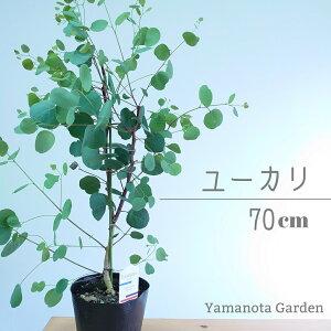 ユーカリ ポポラス ポリアンセモス オージープランツ 観葉植物 常緑 かわいい おしゃれ オージーガーデン 植木 シンボルツリー 中型 銀葉 人気 庭木 70cm
