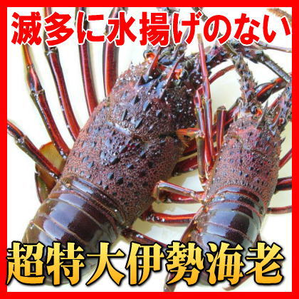 幻の特大伊勢海老 超特大500g〜590gサイズ(活〆冷凍)