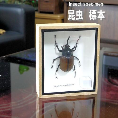 【送料無料】【あす楽】】昆虫の標本 ゴホンヅノカブトムシ Eupatorus gracilicornis