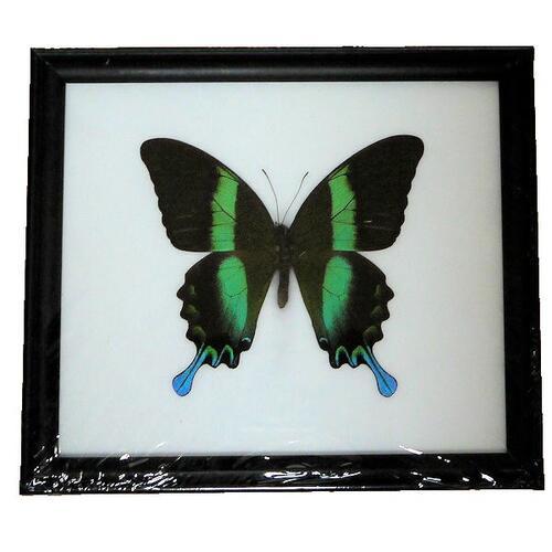 【送料無料】【あす楽】昆虫の標本 オオルリオビアゲハ Papilio blumei 【Majestic Green Swallowtail】