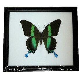 【宅配便送料無料】【あす楽】昆虫の標本 オオルリオビアゲハ Papilio blumei 【Majestic Green Swallowtail】