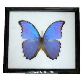 【あす楽】【宅配便送料無料】昆虫の標本 ディディウスモルフォ didius blue morpho 世界一美しい蝶