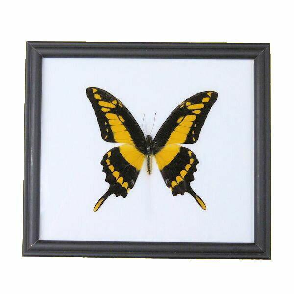【宅配便送料無料】【あす楽】昆虫の標本 世界の蝶 オオタスキアゲハ Papilio Thous  【Giant Yellow Stripe Swallowtail】