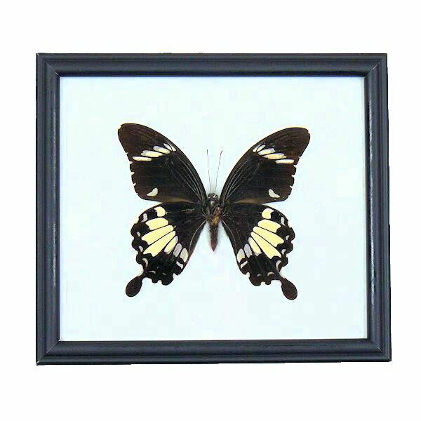【送料無料】昆虫の標本 世界の蝶 シロオビモンキアゲハ Papilio nephelus【The black&White Helen】