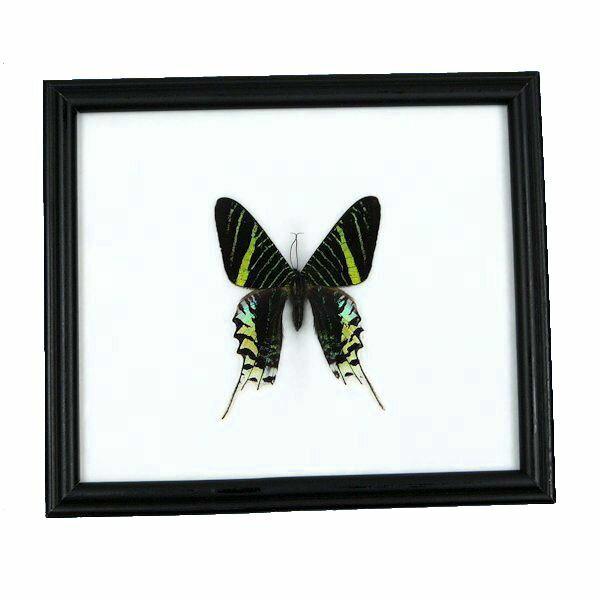 【あす楽】【送料無料】昆虫の標本 世界の蝶 ナンベイアオツバメガ Urania leilus【Day flying moth】