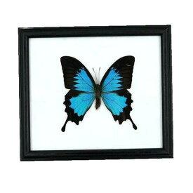 【あす楽】【宅配便送料無料】昆虫の標本 オオルリアゲハ Papilio Ulysses 【Blue Emperor Ulysses】