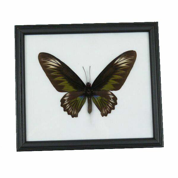 【送料無料】昆虫の標本 世界の蝶 アカエリトリバネアゲハ メス Trogonoptera Brookiana 【Rajah Brookiana】【あす楽】