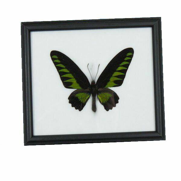 【送料無料】昆虫の標本 アカエリトリバネアゲハ オス Trogonoptera brookiana 【Rajah Brookiana】【あす楽】