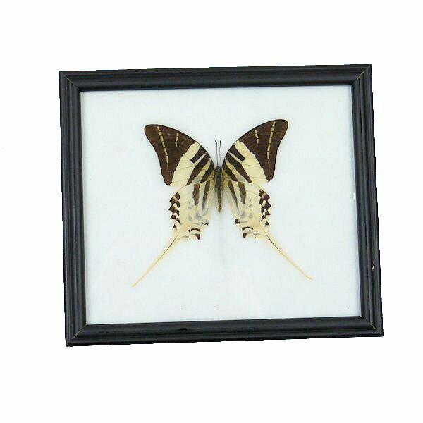 【あす楽】【送料無料】昆虫の標本 世界の蝶 オオオナガタイマイ graphium androcles 【Giant Swordtail butterfly】
