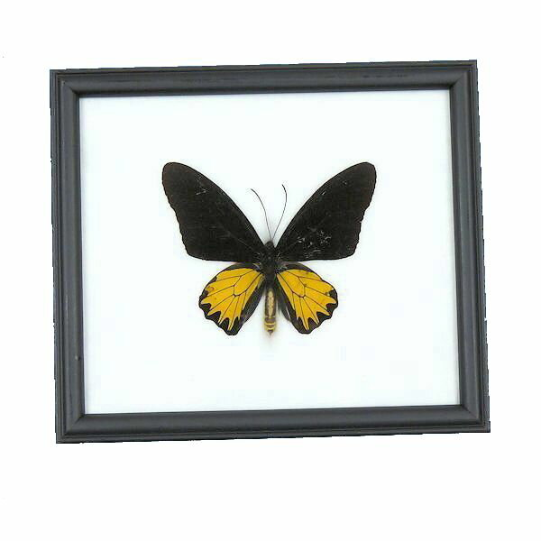 【送料無料】昆虫の標本 キシタアゲハ Troides aeacus 【Golden Birswing M】【あす楽】