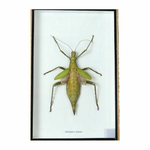 【送料無料】【あす楽】昆虫の標本 Heteropteyx dilatata サカダチコノハナナフシ