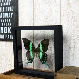 【あす楽】【宅配便送料無料】昆虫の標本 オオルリオビアゲハ Papilio blumei 【Majestic Green Swallowtail】 両側ガラスケース 3Dタイプ