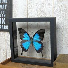 【あす楽】【宅配便送料無料】昆虫の標本 オオルリアゲハ Papilio Ulysses 【Blue Emperor Ulysses】両側ガラスケース 3Dタイプ