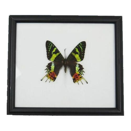 【あす楽】【送料無料】昆虫の標本 世界の蝶 マダガスカル ニシキオオツバメガ Madagascan-Sun set moth 【Chysiridia madagascariensis】