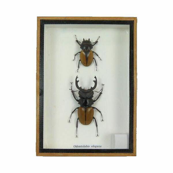 【送料無料】【あす楽】昆虫の標本 ツヤクワガタ エレガンス ペア Odontolabis elegans