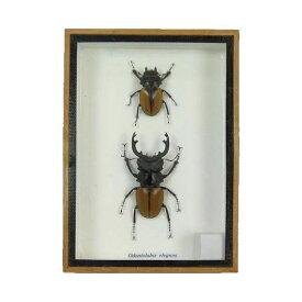 【宅配便送料無料】【あす楽】昆虫の標本 ツヤクワガタ エレガンス ペア Odontolabis elegans