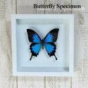 【送料無料】【あす楽】昆虫の標本 蝶の標本 オオルリアゲハ ホワイト&ブラックフレーム