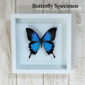 【宅配便送料無料】【あす楽】昆虫の標本 蝶の標本 オオルリアゲハ ホワイト&ブラックフレーム 3Dタイプ papilio ulysses