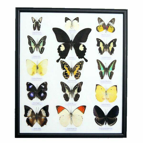 【あす楽】【送料無料】昆虫の標本 世界のチョウチョ 15頭 (大)