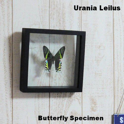 【あす楽】【宅配便送料無料】昆虫の標本 世界の蝶 ナンベイアオツバメガ Urania leilus【Day flying moth】 両側ガラスケース 3Dタイプ