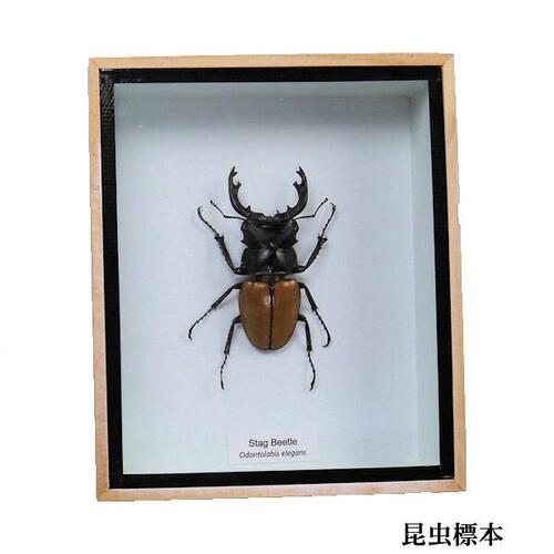【送料無料】【あす楽】昆虫の標本 ツヤクワガタエレガンス Odontolabis elegans
