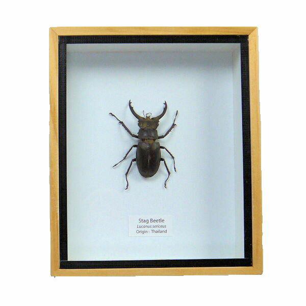 【送料無料】【あす楽】昆虫の標本 セリケウスミヤマクワガタ lucanus sericeus