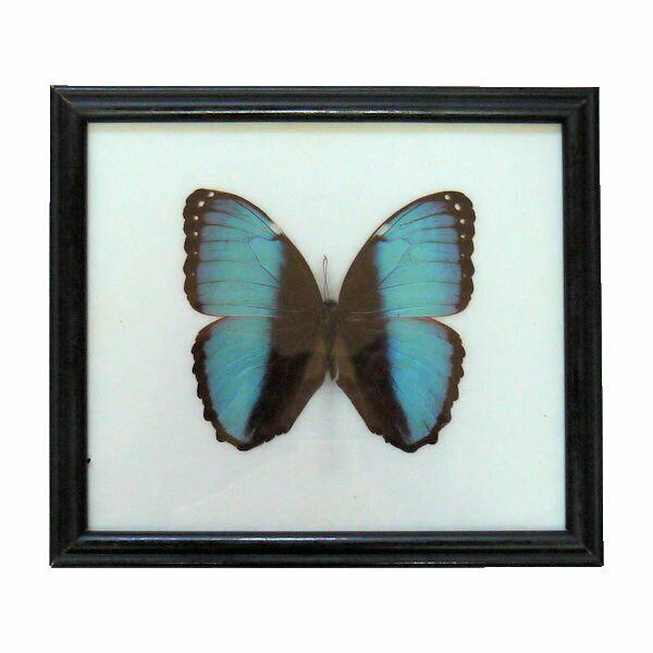 【あす楽】【送料無料】昆虫の標本 デイダミアモルフォ deidamia blue stripe morpho 光の角度で羽の色が変化します。世界一美しいとされるモルフォ蝶の一種です。