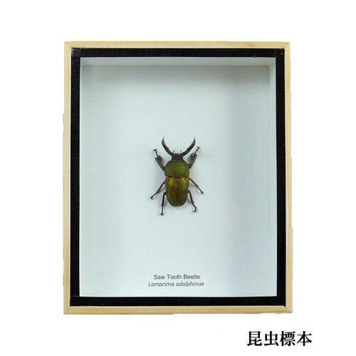 【送料無料】【あす楽】昆虫の標本 パプアキンイロクワガタ lamprima adolphinae