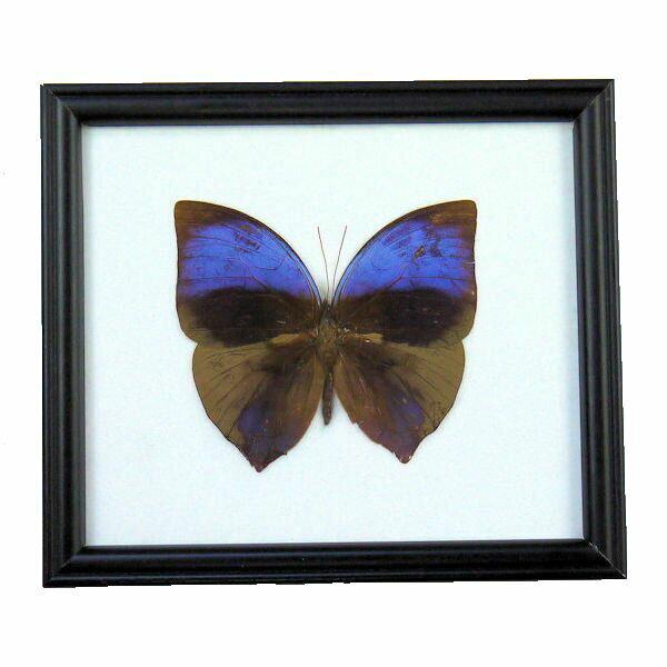 【送料無料】【あす楽】昆虫の標本 オオムラサキトガリバワモンチョウ Zeuxidia aurelius