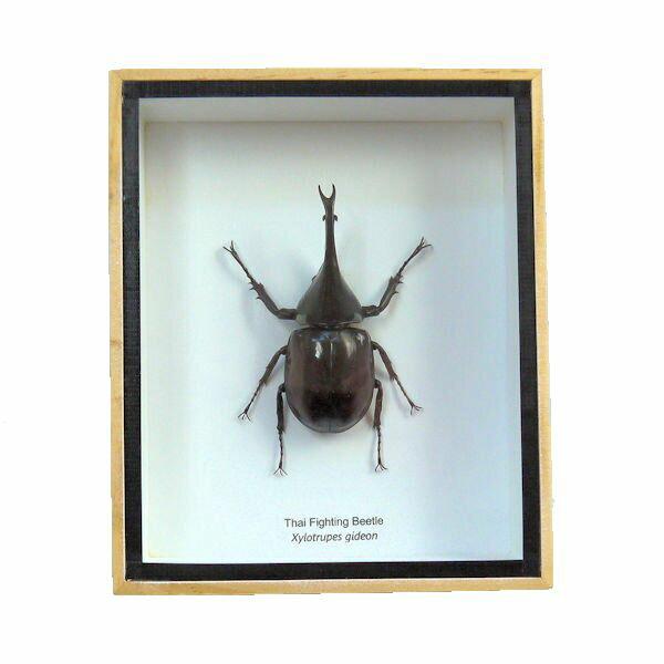 【送料無料】【あす楽】昆虫の標本 ヒメカブト xylotrupes gideon