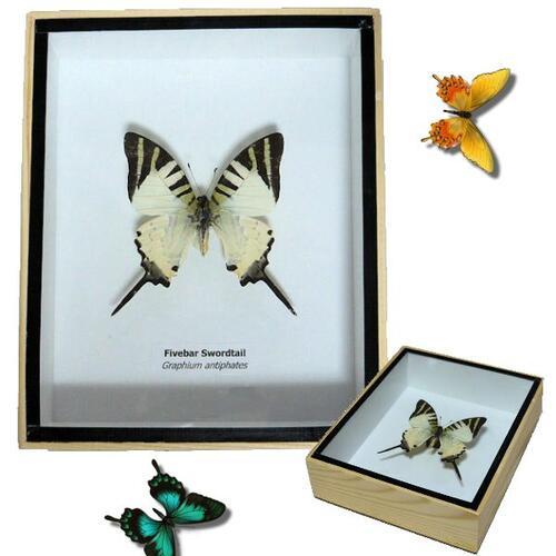 【宅配便送料無料】【あす楽】昆虫の標本 3Dタイプ オナガタイマイ Fiverbar sworodtail