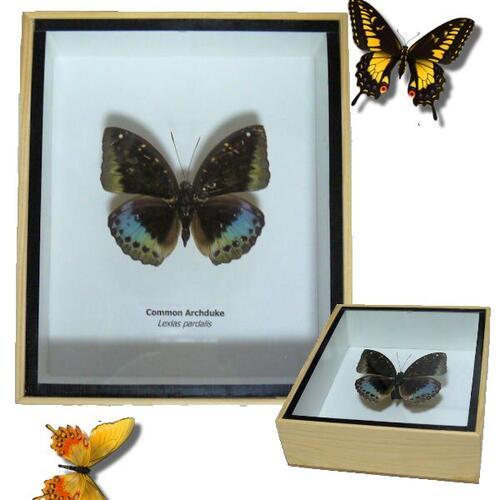 【送料無料】【あす楽】昆虫の標本 3Dタイプ オオイナズマ Common archduke