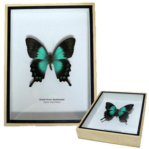 【送料無料】【あす楽】昆虫の標本 3Dタイプ ヘリボシアオネアゲハ Papilio lorquinianus