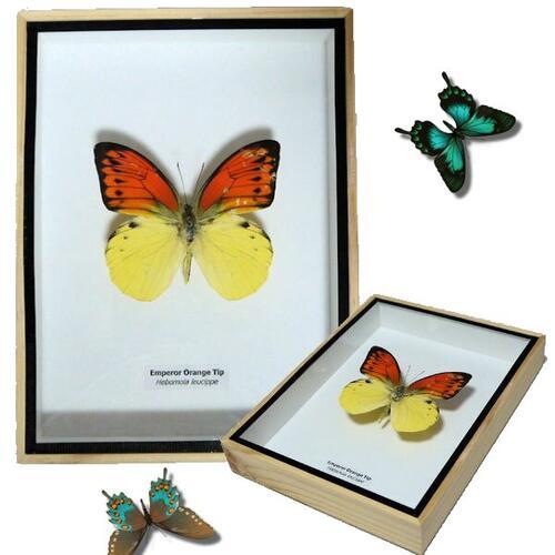 【送料無料】【あす楽】昆虫の標本 3Dタイプ ヒイロツマベニチョウ Hebomoia leucippe