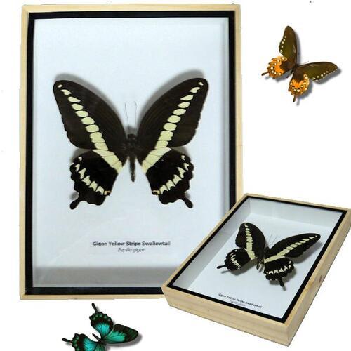 【送料無料】【あす楽】昆虫の標本 3Dタイプ オオオビモンアゲハ papilio gigon