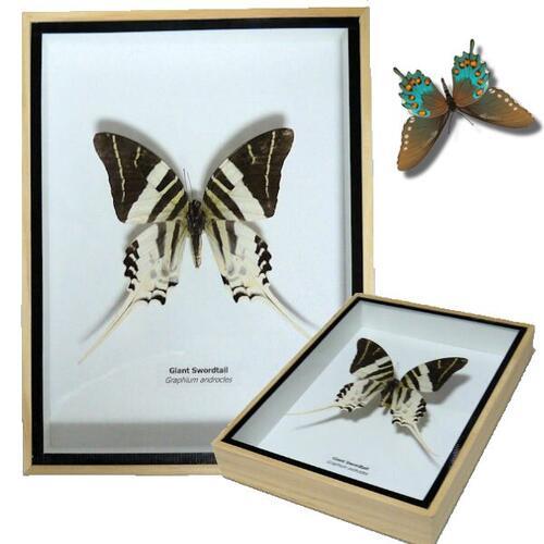 【送料無料】【あす楽】昆虫の標本 3Dタイプ オオオオナガタイマイ Graphium androcles