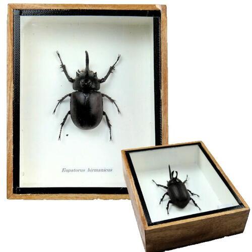 【送料無料】【あす楽】昆虫の標本 ビルマゴホンツノカブト Eupatorus birmanicus