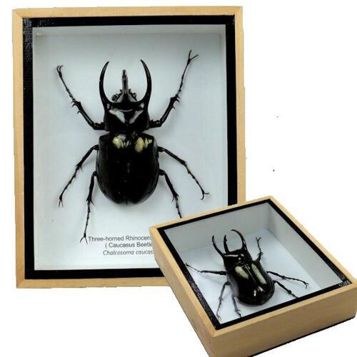 【送料無料】【あす楽】昆虫の標本 コーカサスオオカブト Caucasus beetle