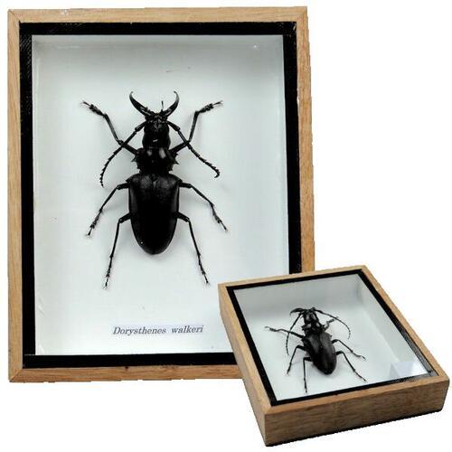 【送料無料】【あす楽】昆虫の標本 シャムオオキバノコギリカミキリ dorysthenes walkeri