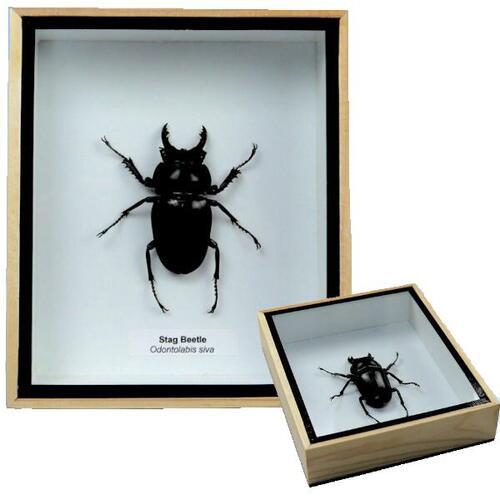 【送料無料】【あす楽】昆虫の標本 オニツヤクワガタ Odontolabis siva