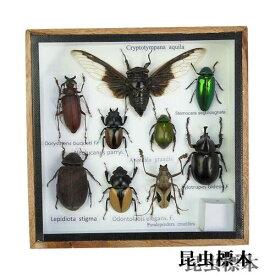 【宅配便送料無料】昆虫の標本 世界のクワガタなど 6〜9匹 (小)【あす楽】