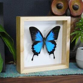 【宅配便送料無料】【あす楽】昆虫の標本 蝶の標本 オオルリアゲハ ウッドフレーム 3Dタイプ papilio ulysses