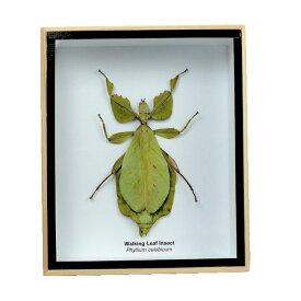 【送料無料】【あす楽】昆虫の標本 コノハムシ Phyllium celebicum Wakking leaf insect