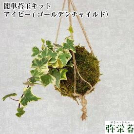 苔 苔玉 おうち 父の日 【 簡単 苔玉キット アイビー ( ゴールデンチャイルド ) 】